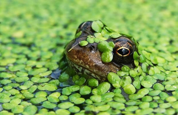 Why are goldfish in garden ponds threatening frogs?
