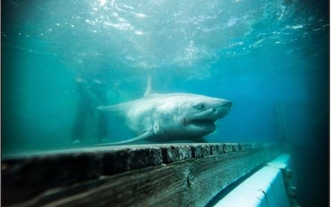 Great white shark Cabot stirs 'Jaws'-style fears among New York beachgoers