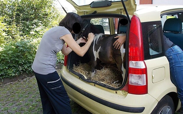 German woman stopped with Shetland pony in the boot of her car