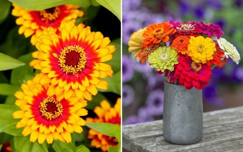 Pick of the zingiest zinnias and how to grow them as cut flowers