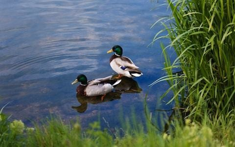 Duck eggs destroyed after Mallards 'posed danger to cyclists'