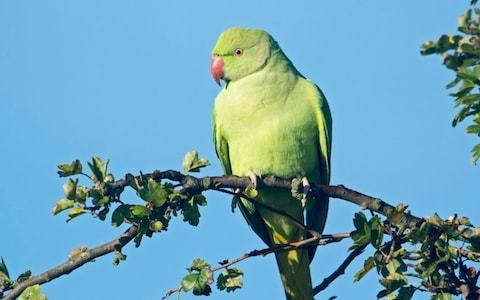 London's parakeet invasion sparked by panicked owners not Jimi Hendrix