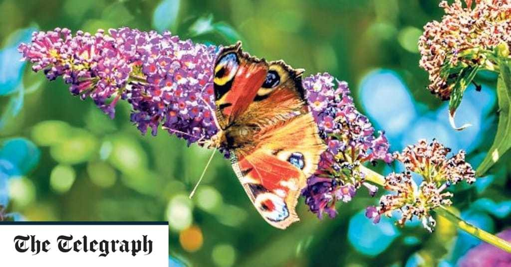 New-breed buddleias are perfect way to introduce more British butterflies into your garden