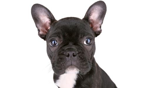 French Bulldog craze sees influx of pets dumped at dogs' homes