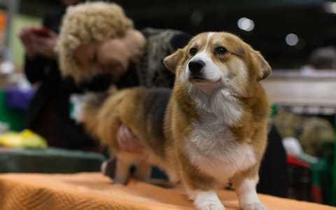 South Korean 'killed neighbour's noisy corgi and fed it to him'