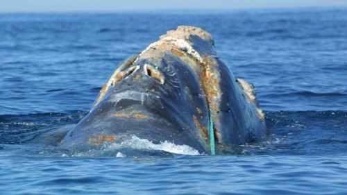 North Atlantic Right Whales Are Dying in Horrific Ways