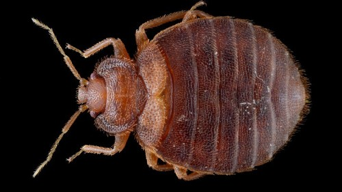 Bed-Bug Madness: The Psychological Toll of the Blood Suckers