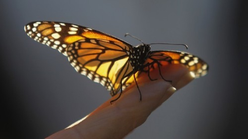 Hand-Reared Monarch Butterflies Don't Migrate