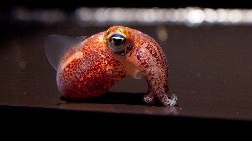 The Lovely Tale of an Adorable Squid and Its Glowing Partner
