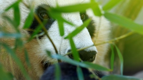 The Giant Panda Is a Closet Carnivore