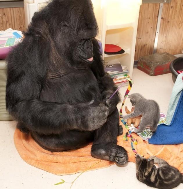 A Conversation With Koko the Gorilla