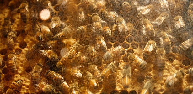 The Latest Weapon in the War on Cancer: Honey Bees