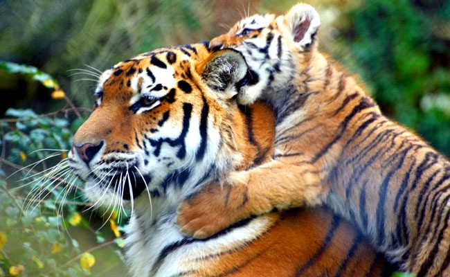 The Drawbacks of Being a Tiger Parent, Now Proven by Science