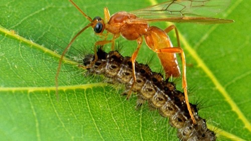 How Wasps Use Viruses to Genetically Engineer Caterpillars