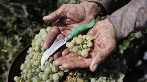 Old World Wine Grapes Have Been Used for Centuries