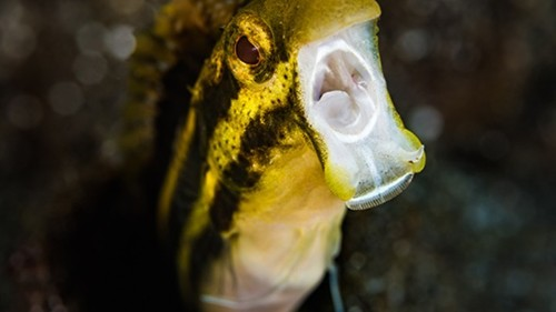 A Tiny Fish With Terrifying Fangs and Opioid Venom
