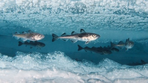 After Two Decades, a Fishy Genetic Mystery Has Been Solved