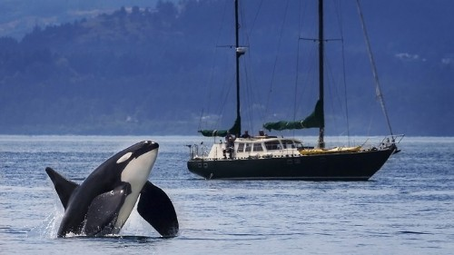 What a Grieving Orca Tells Us