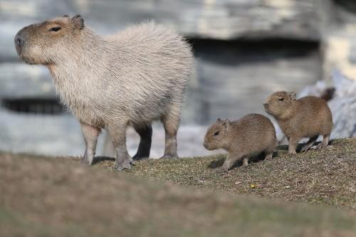 Companionable Capybaras