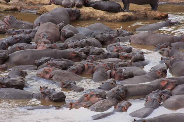 Hippos Poop So Much That Sometimes All the Fish Die