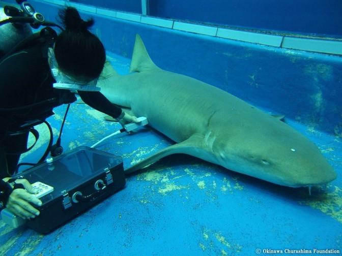 Unborn Baby Shark Filmed Swimming Around Inside Its Mother