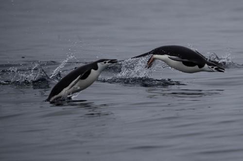 Documenting Penguin Decline in Antarctica