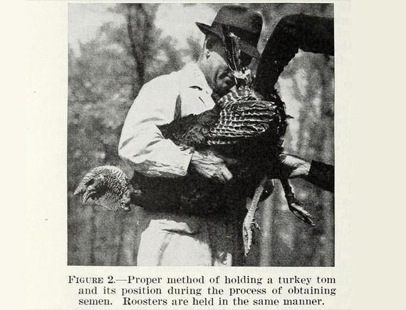The Supersized American Turkey