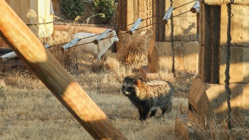 The Care and Keeping of Raccoon Dogs