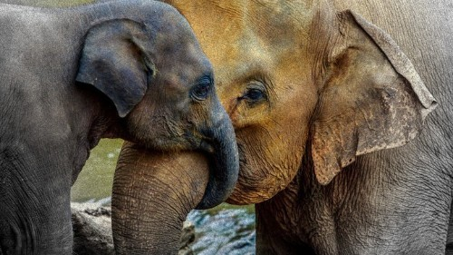 Being an 'Elephant Mom' in the Time of the Tiger Mother