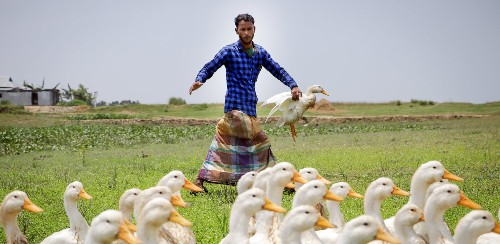 Bangladesh Farmers Are Raising Ducks to Adapt to Climate Change