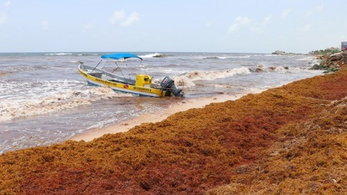 The Seaweed Piling Up on Caribbean Beaches Is Here to Stay