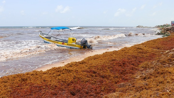 Why Waves of Seaweed Have Been Smothering Caribbean Beaches