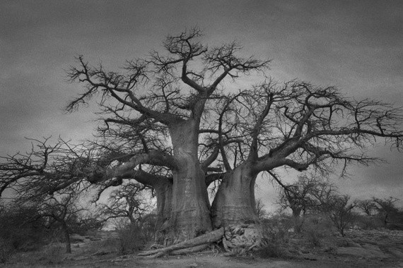 Behold: Some of the World's Oldest Trees