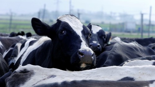 How a Quarter of Cow DNA Came From Reptiles