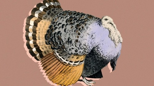 Turkeys Are Twice as Big as They Were in 1960