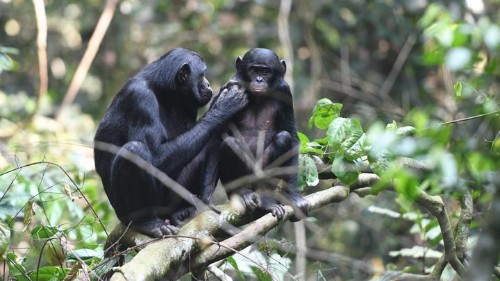 Bonobo Moms Care a Lot About Their Sons' Sex Lives