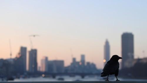 Letter: The Crow That Hates Falafel