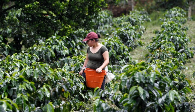 Coffee Leaf Rust: It's Coming for Your Morning Joe