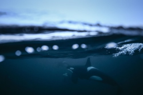Swimming With Orcas in Norway