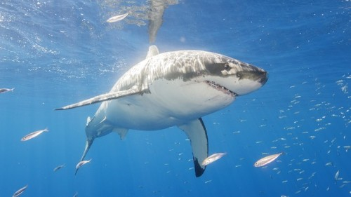 The Predator That Makes Great White Sharks Flee in Fear