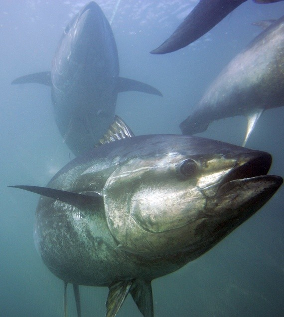 Sushinomics: How Bluefin Tuna Became a Million-Dollar Fish