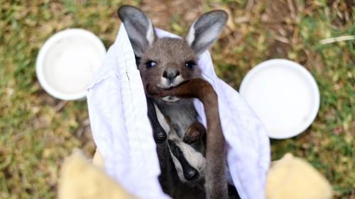 The Bleak Future of Australian Wildlife