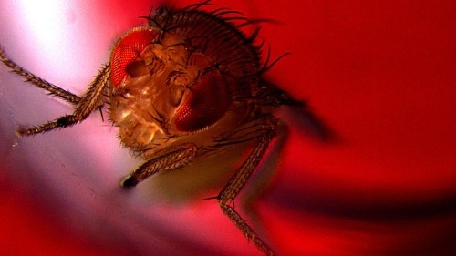 Scientists Genetically Engineered Flies to Ejaculate Under Red Light