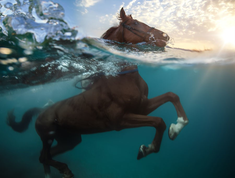 Hooves in the Water: Swimming Pigs and Diving Horses