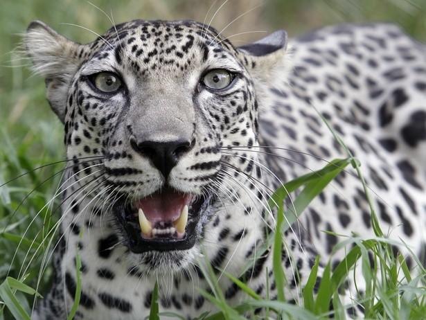 Yemeni Tribesmen Are Capturing This Endangered Leopard for Money