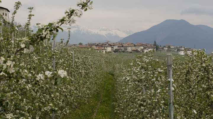Why Italians Are Growing Apples for Wild Bears