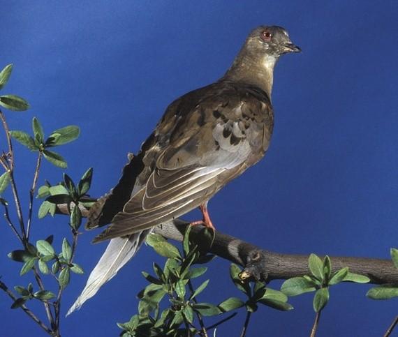 Martha, the Very Last Passenger Pigeon
