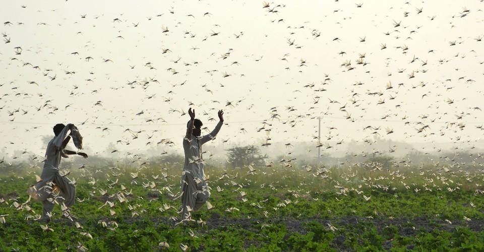 Photos: The Locust Swarms of 2020