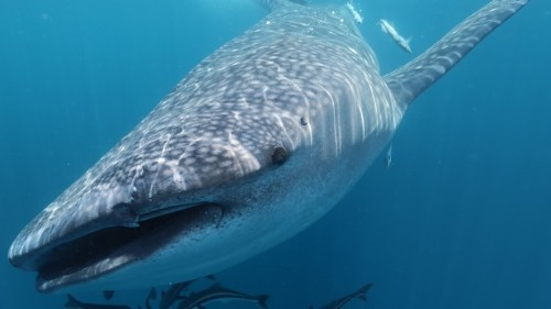Counting Whale Sharks With DNA in a Bucket of Water