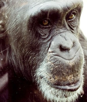 Does Chimp Warfare Explain Our Sense of Good and Evil?